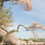 Trying to time your arrival in Washington, D.C. to coincide with the peak bloom of the cherry blossoms is no small task. Each year, thousands...